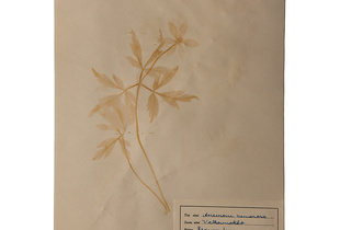 'Anemone nemorosa' from the series 'Herbaria Extracta'