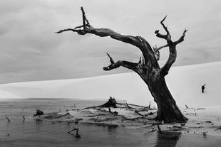 Dead tree at Lençois Maranhenses National Park