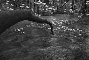 Dogwood Blossoms on Tenaya Creek