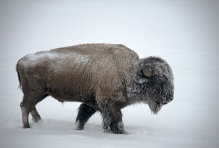 Snow on Bison
