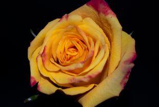 Rose in Detail