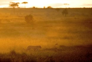 Léopard Masaï Mara Kenya 2017