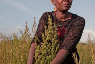 Organic tea tree farmer in Kenya