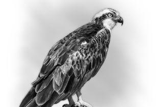 Raptor series: Osprey