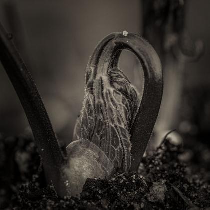 Bugbane (Actaea racemosa)