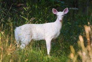 White Deer 2017