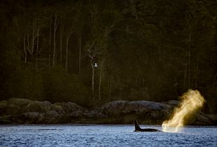 sunset killer whale hunting sea lions