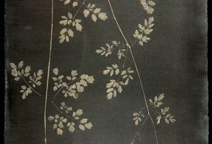 #00112 Thalictrum pubescens