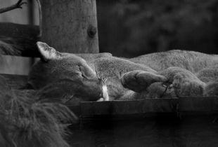 Sleeping puma