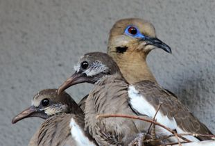 Mourning Dove & Her Two Squabs