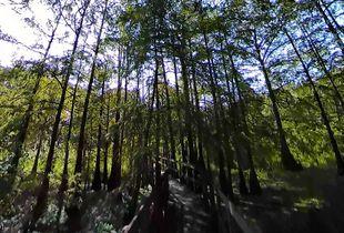 Louisiana Cypress Swamp