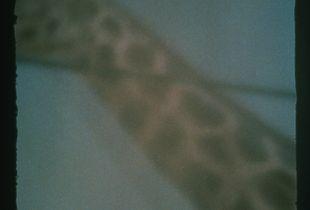 Blue Sky with A Giraffe
