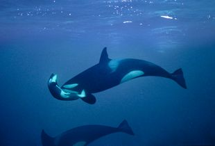 Orca mourning her dead calf