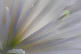 Momento Mori - Chrysanthemum 1