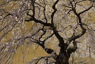 Sakura no2