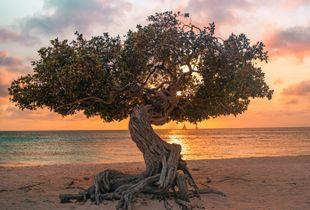 Divi Divi at Eagle Beach - Aruba