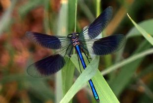Blue Dragonfly - Nature