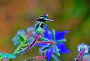 Os presento a la mosca mas bella del mundo... ¡A bailar! :P