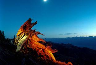 Animism 1 Sacred Trees  #1