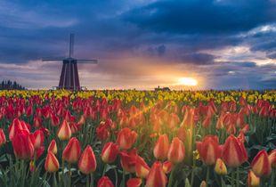 Tulip Spotlight
