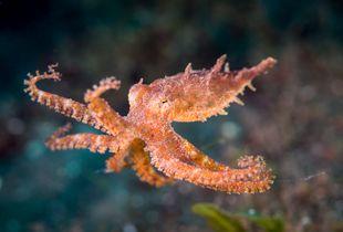 Octopus in flight