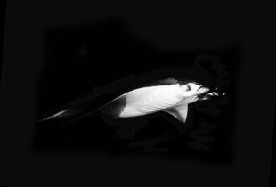 Flight of the Manta Ray