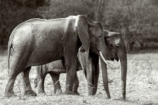 elephant family. Kafue National Park Zambia.