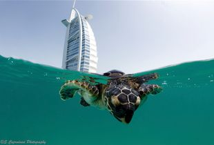 The Dubai Turtle Rehabilitation Project. Every year the team of the DTRP takes in and rehabilitates hundreds of endangered sea turtles found stranded along the coast of the UAE. The turtles get cured in facilities underground at the iconic Burj al Arab Hotel in Dubai . As soon as they are fit they are then released to open sea under the shadow of their 7 star hospital.