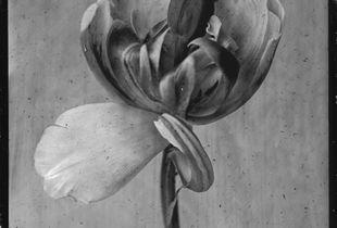 "Tulipa ""Melrose"""