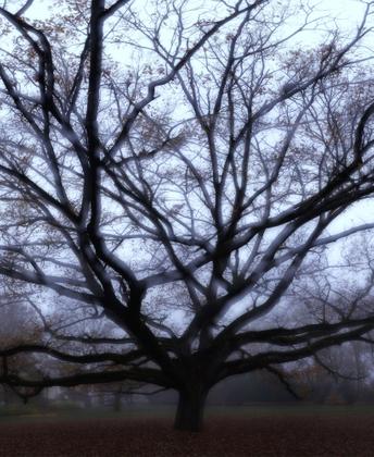 Foggy oak