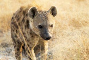 Adulto di iena maschio