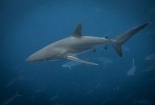 Silky shark  in Coco Island ( Costa Rica)