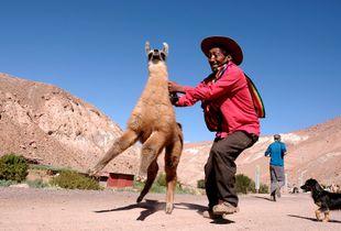 Errant llama returns home