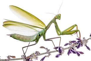 Praying Mantis (Mantis religiosa) displaying
