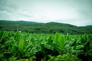Banana fields