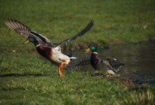 Ducks Playing
