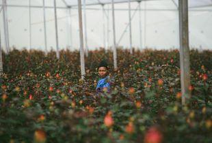 kenya- greenhouse roses farming