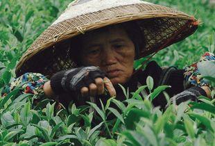 Tea picker, China