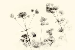Imaginary Botanicals Number 9 (Astrantia and Bee)