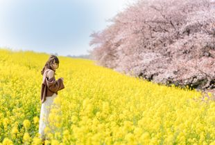 Cherry blossoms and canola flowers
