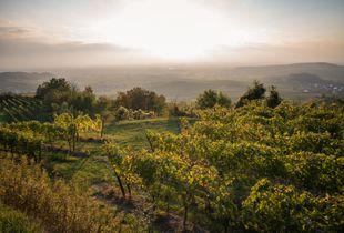 Evenings in the Vineyard IV