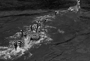 zebras crossing the Mara River