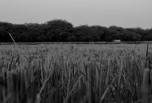 Dry Paddy