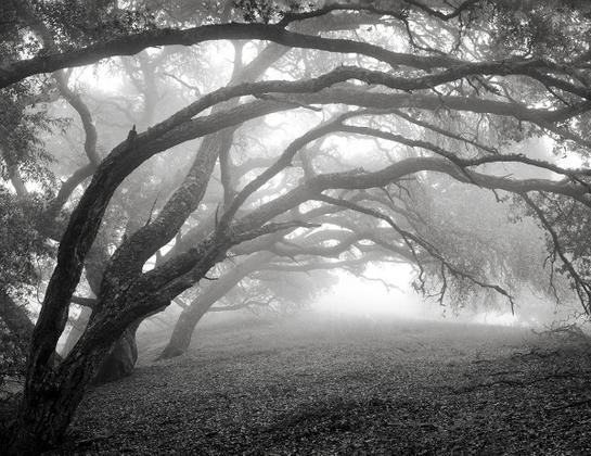 Oaks and mist, Big Sur.