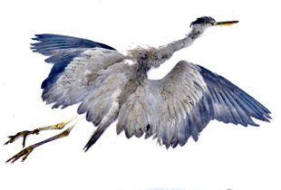 Grey heron, still life