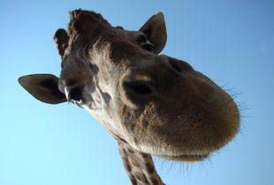 Under the Giraffe