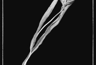 faded tulip