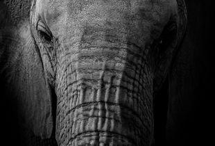 Spoiled Elephant