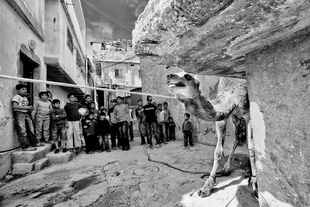A young camel is led to slaughter in Al-Arob refugee camp. Mar. 19, 2011. West Bank, Palestine.