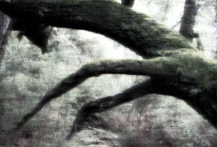Quercus Equus
